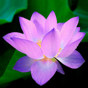 Facing Fear and Finding Peace - Lotus flower