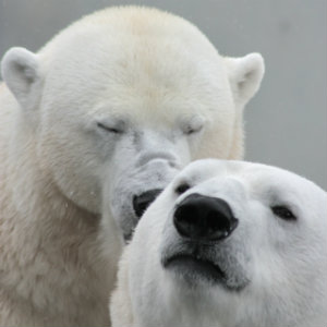 Love and Forgiveness - Are They Interdependent? Seeking Approval - Polar Bears